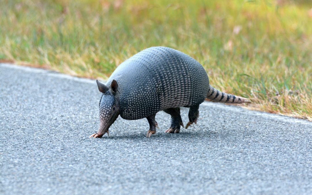 Armadillos and Fauci